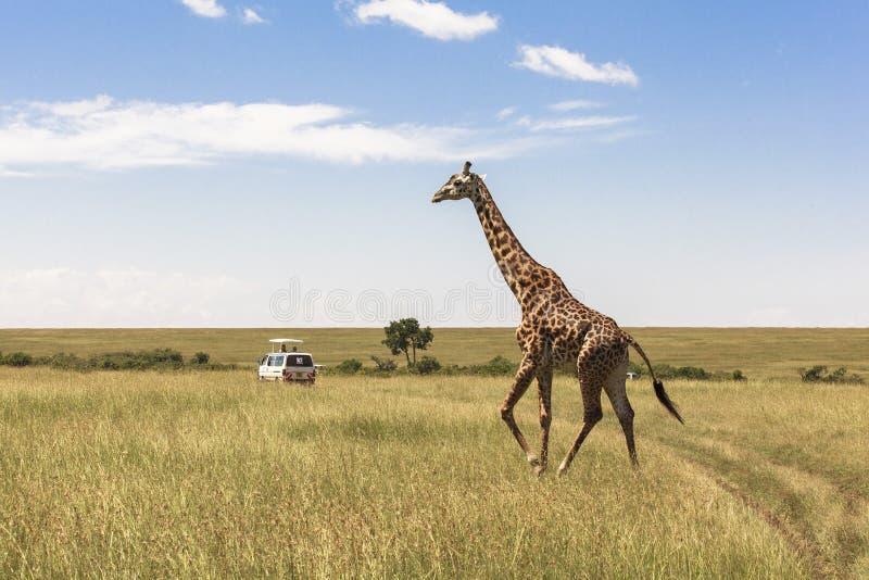 长颈鹿在内罗毕肯尼亚 库存图片