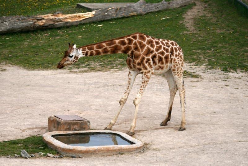 长颈鹿在动物园里 免版税库存照片