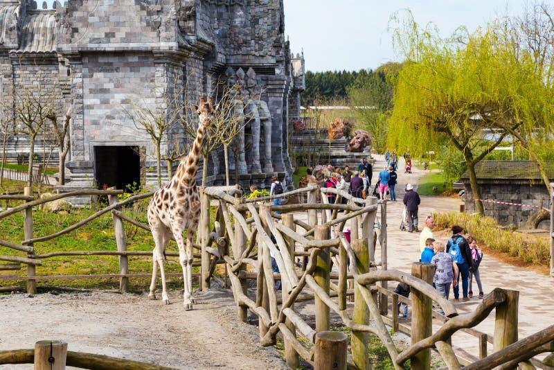 长颈鹿在动物园Pairi Daiza和人里 免版税库存照片