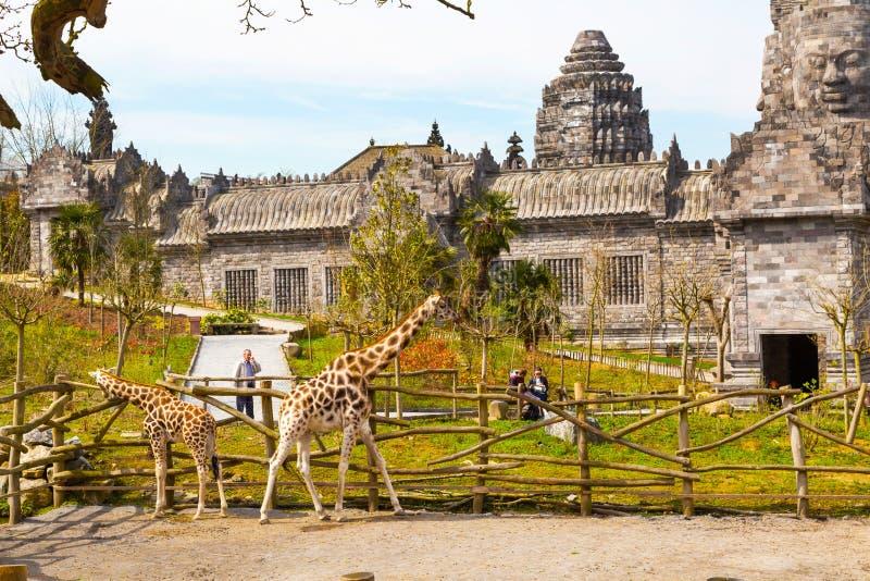 长颈鹿在动物园Pairi Daiza和人里 库存照片