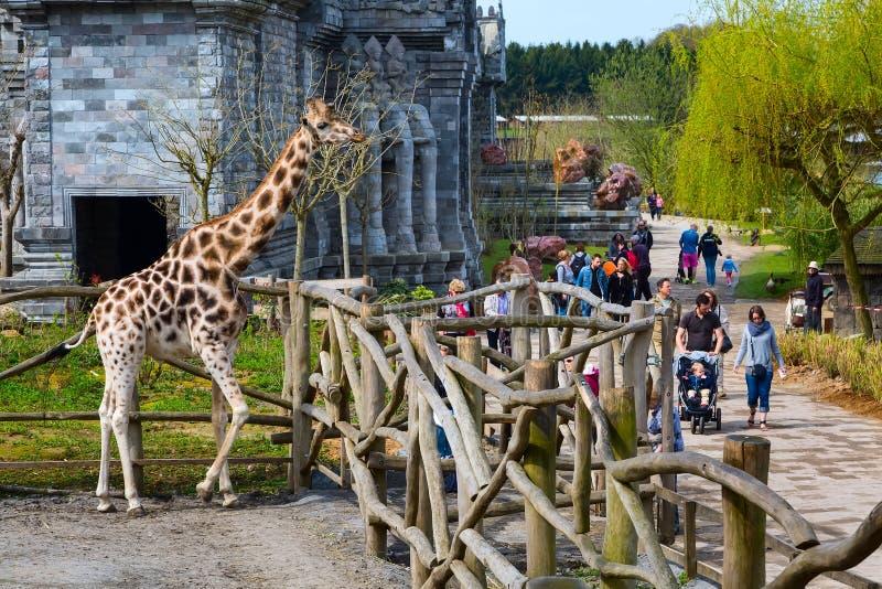 长颈鹿在动物园Pairi Daiza,比利时里 免版税库存图片