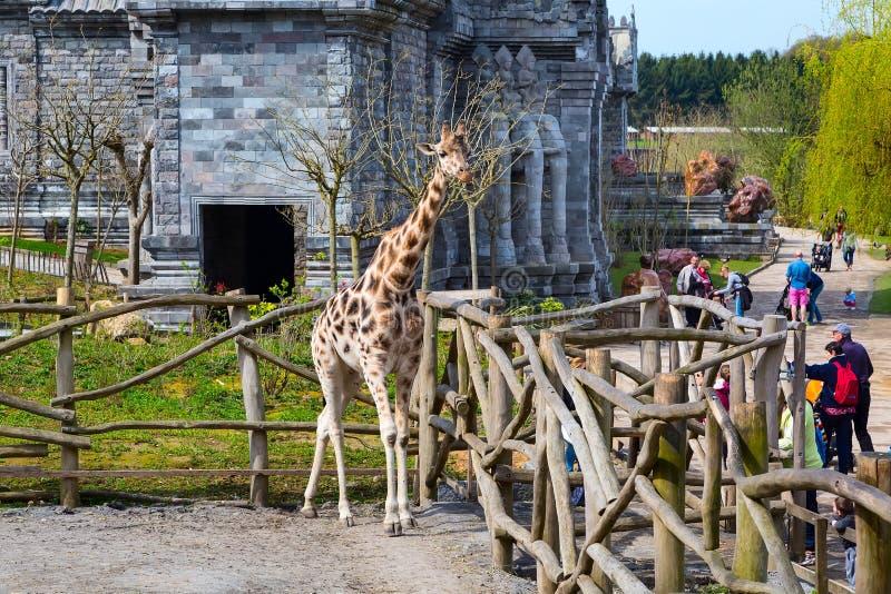 长颈鹿在动物园Pairi Daiza,比利时里 库存图片