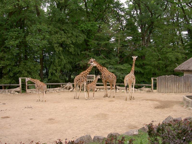 长颈鹿在封入物,动物园莱什纳,Zlin,捷克 库存图片