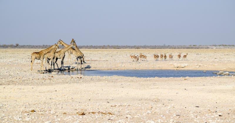 长颈鹿在纳米比亚 库存照片