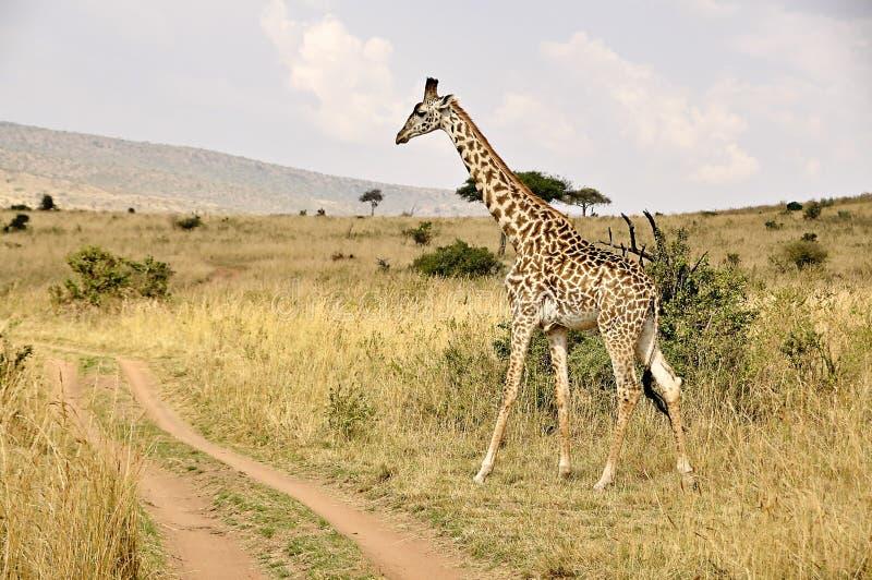 长颈鹿在肯尼亚,徒步旅行队在非洲 免版税库存照片