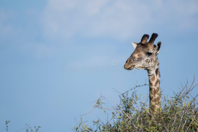 长颈鹿在肯尼亚,徒步旅行队在Tsavo 免版税库存照片
