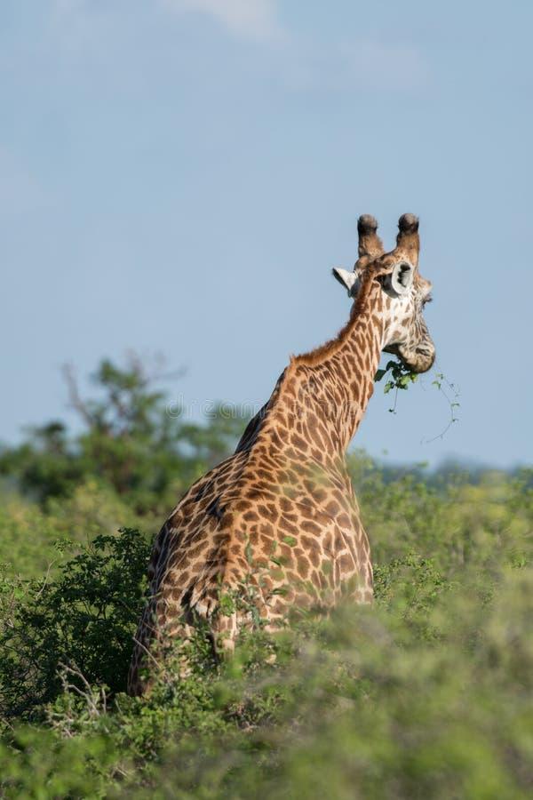 长颈鹿在肯尼亚,徒步旅行队在Tsavo 免版税图库摄影