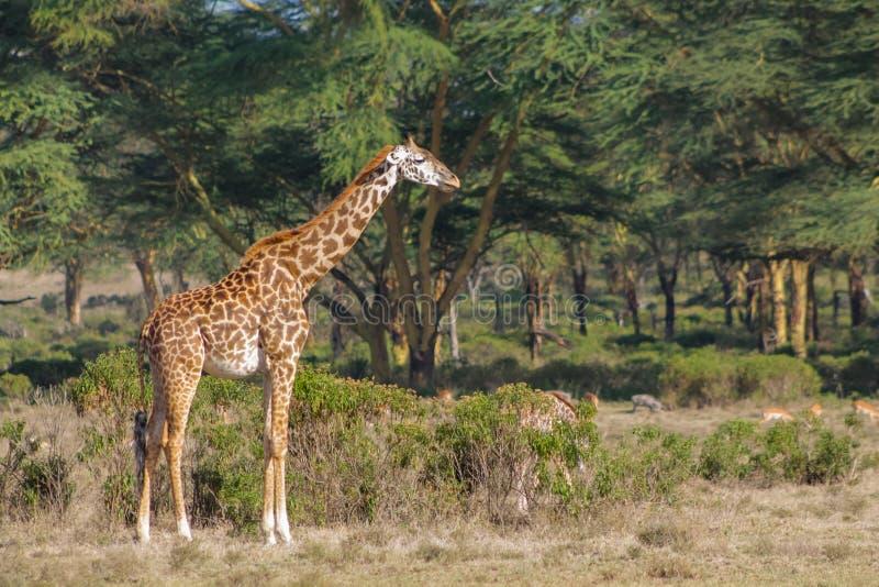 长颈鹿在非洲森林里 库存照片