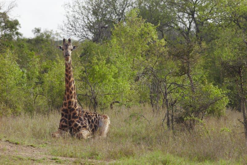 长颈鹿在非洲平原坐 库存照片