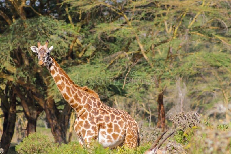 长颈鹿在非洲森林里 图库摄影