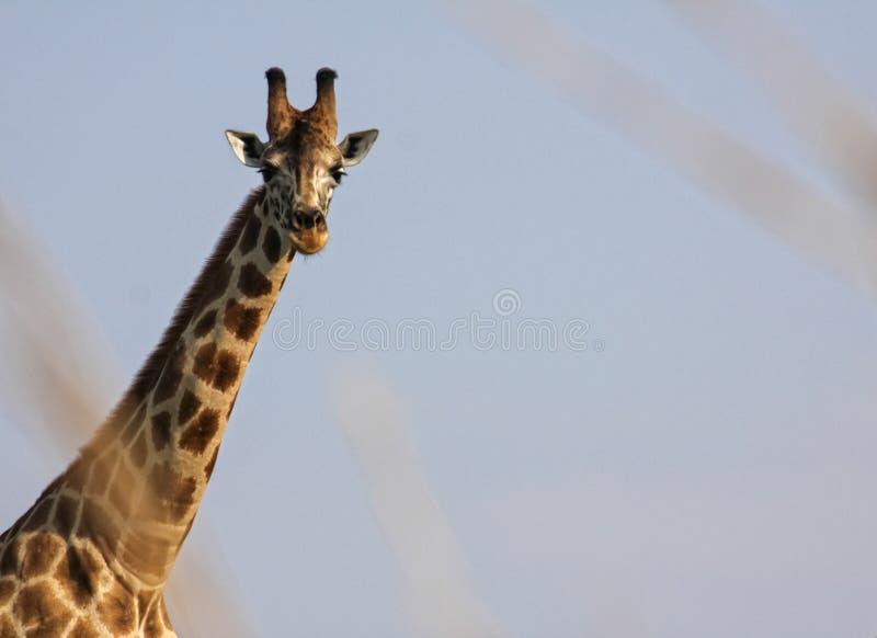 长颈鹿在默奇森瀑布国家公园 库存照片