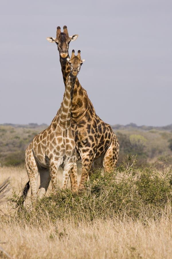 长颈鹿塔  图库摄影