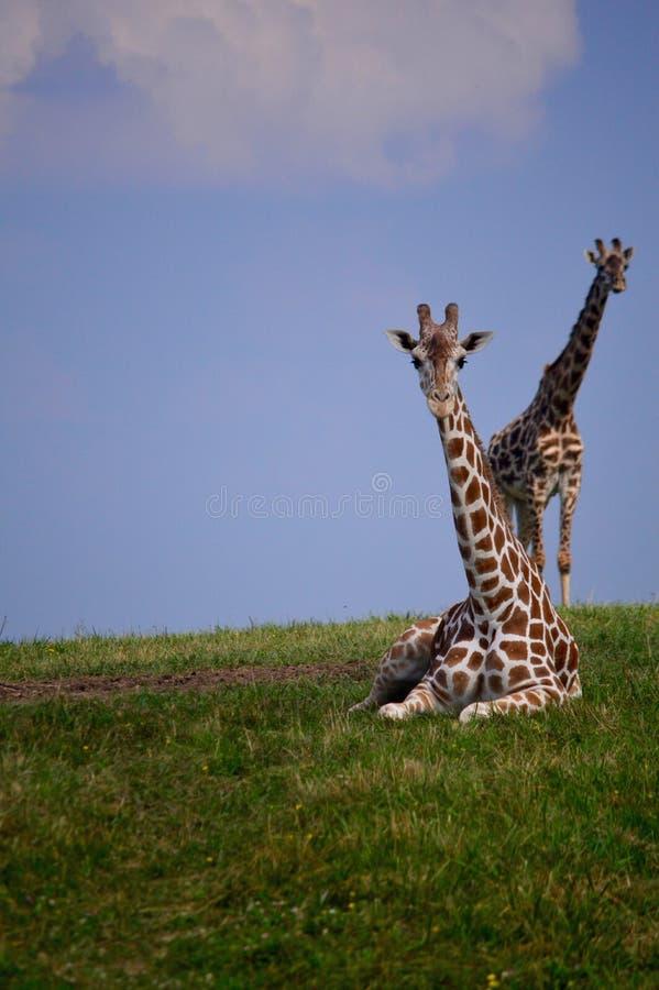 长颈鹿夫妇 库存照片