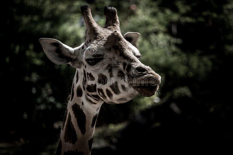 长颈鹿头  图库摄影