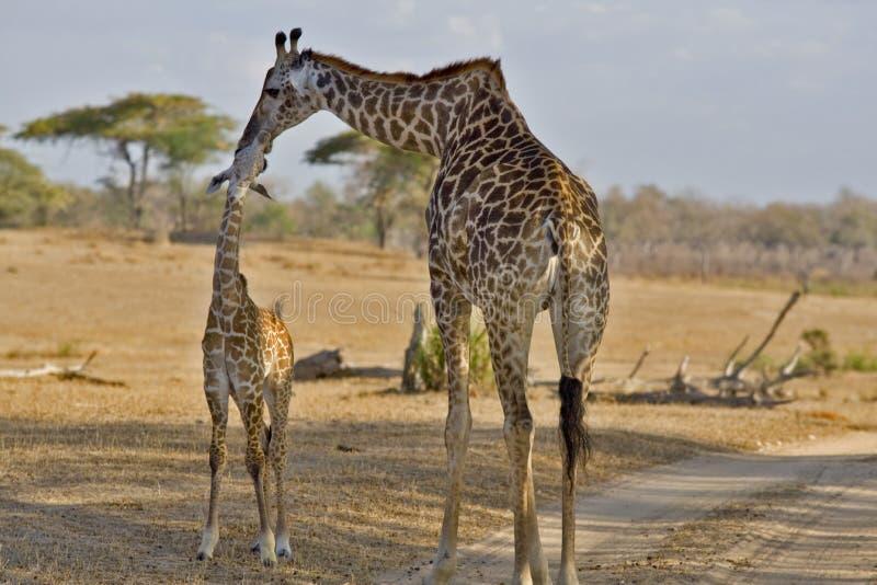 长颈鹿婴儿 库存照片