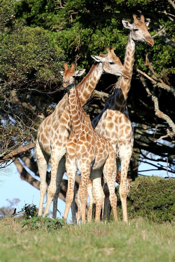 长颈鹿家庭 免版税图库摄影