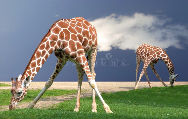 长颈鹿弯曲 免版税库存照片