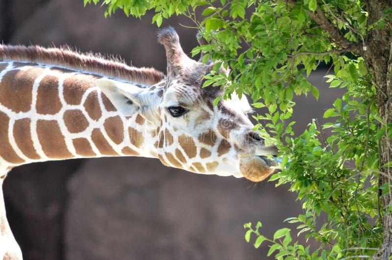 长颈鹿快餐 图库摄影
