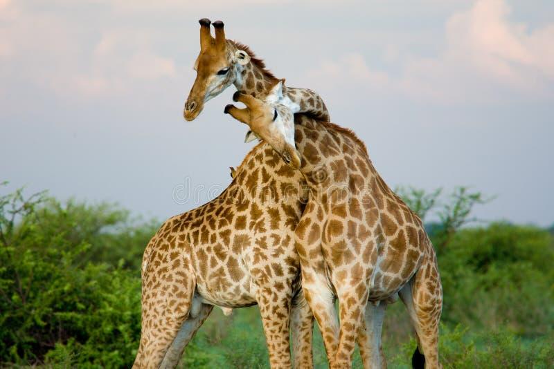 长颈鹿拥抱 免版税图库摄影