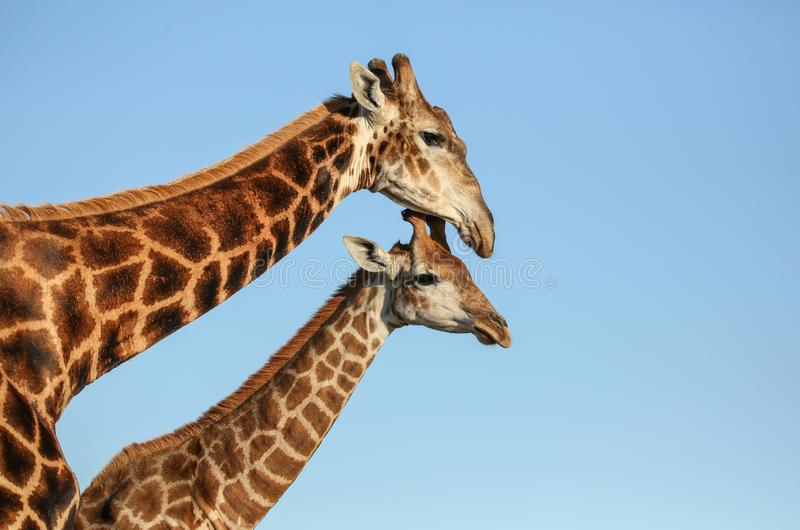 长颈鹿母亲和子孙在南非 库存图片