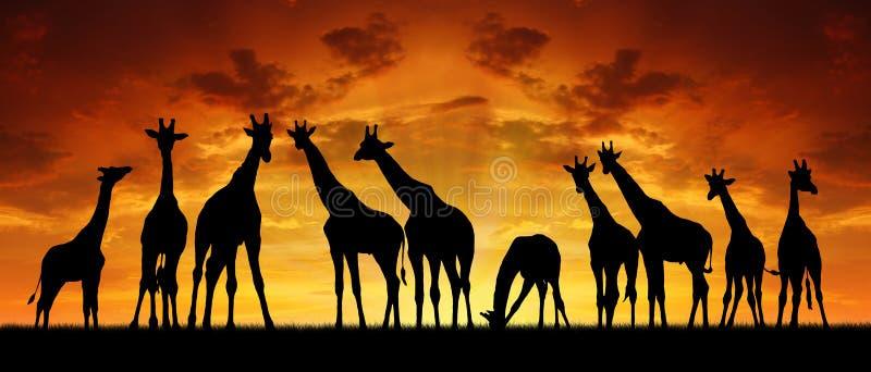 长颈鹿牧群在日落的 皇族释放例证