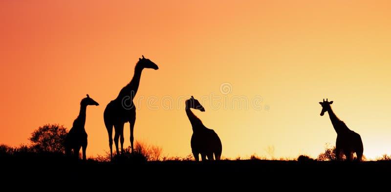 长颈鹿现出轮廓反对日出 库存照片