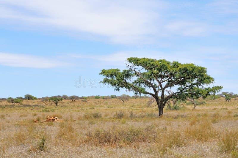 长颈鹿的遗骸 库存照片