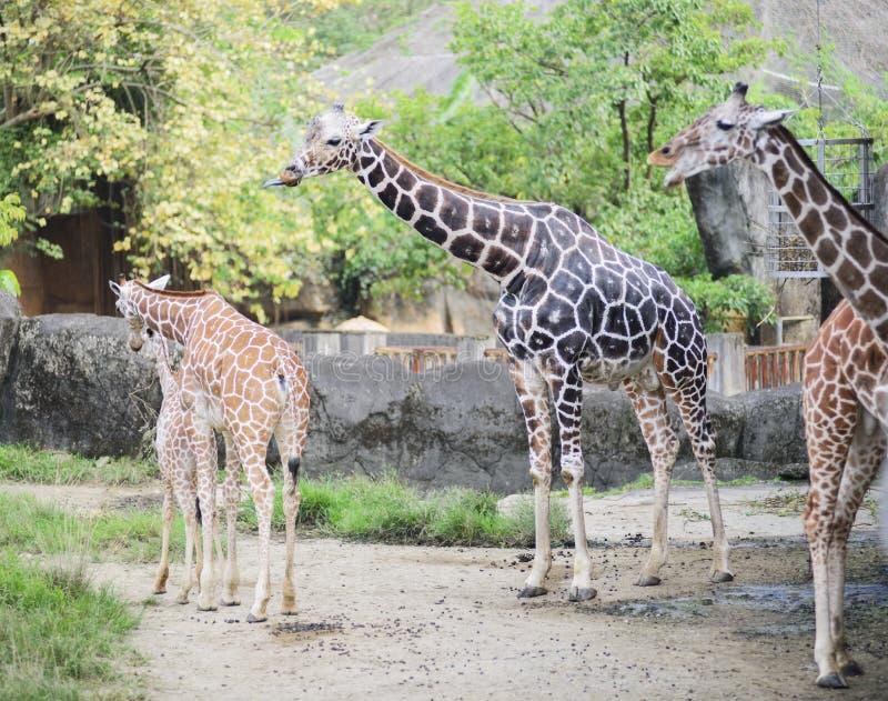 长颈鹿的面孔 库存照片