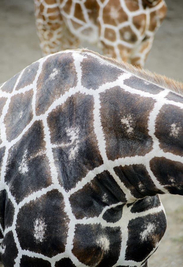 长颈鹿皮肤纹理 免版税库存图片