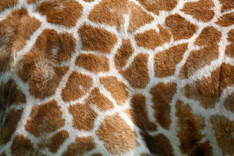 长颈鹿皮肤纹理 免版税图库摄影