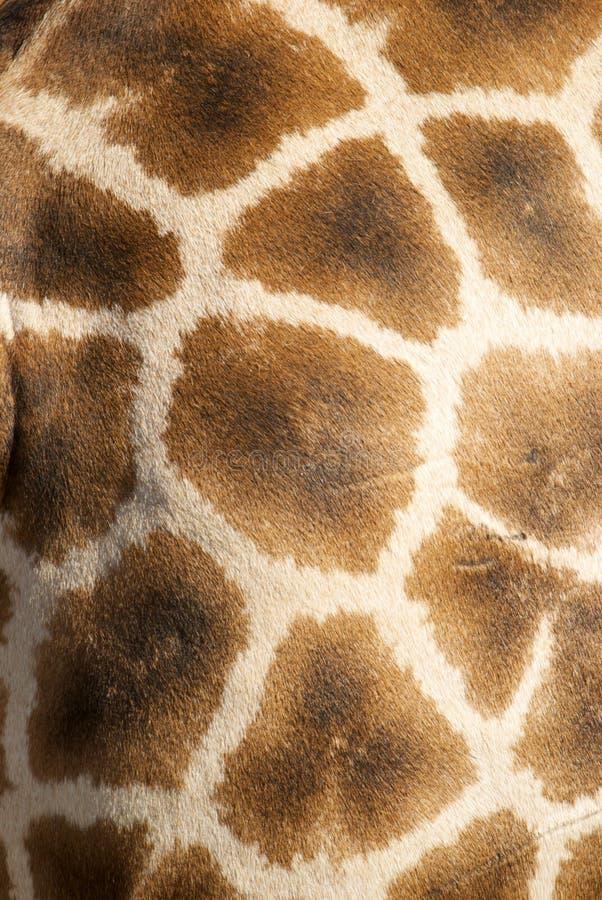 长颈鹿纹理 免版税库存照片