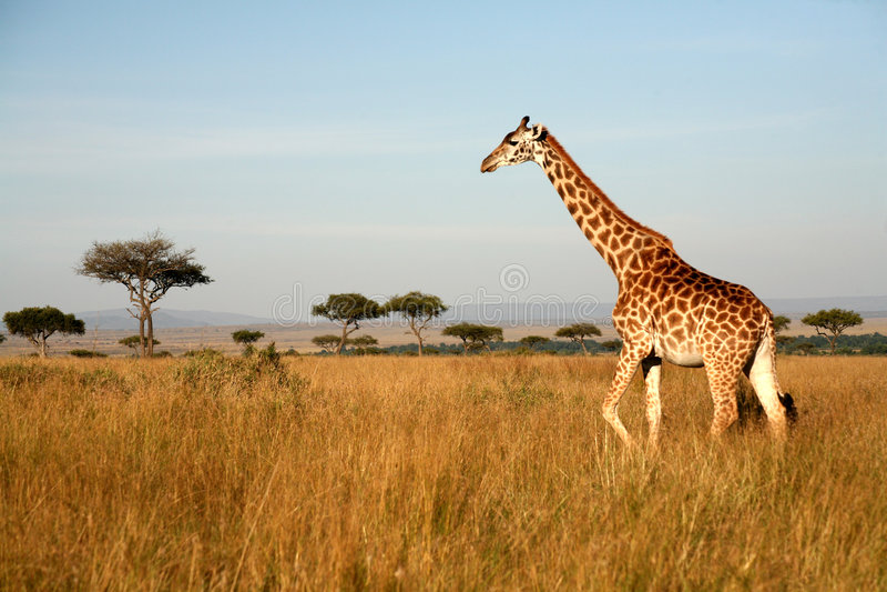 长颈鹿肯尼亚 免版税图库摄影