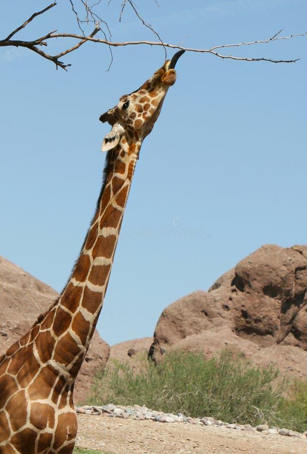 长颈鹿舒展 库存图片