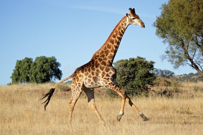 长颈鹿运行中 免版税库存照片
