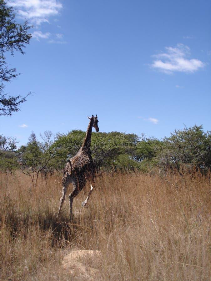 长颈鹿运行中 库存图片