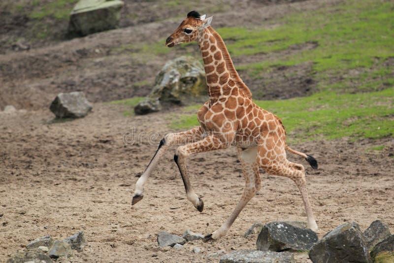 长颈鹿运行的年轻人 库存图片