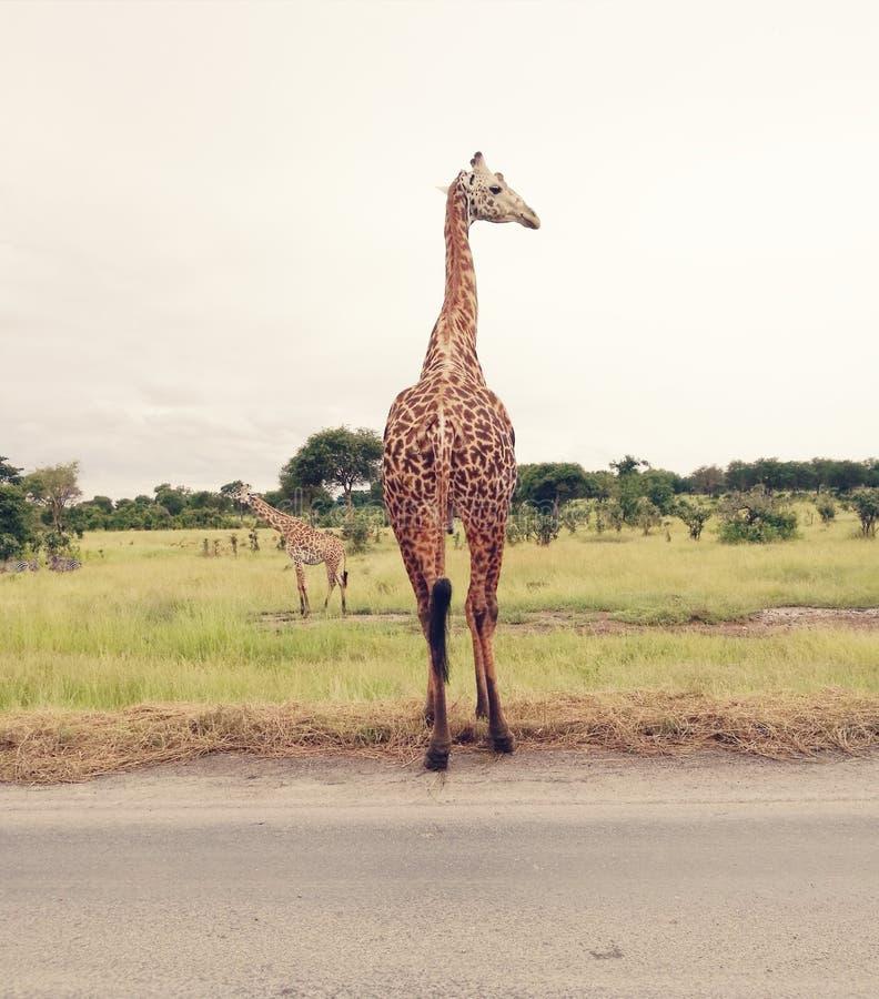 长颈鹿野生生物非洲动物 免版税库存图片