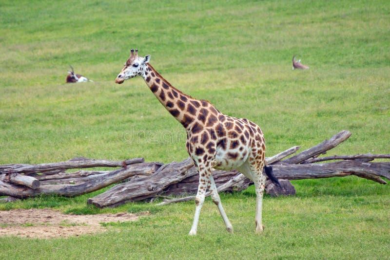 长颈鹿非洲人哺乳动物 免版税库存图片