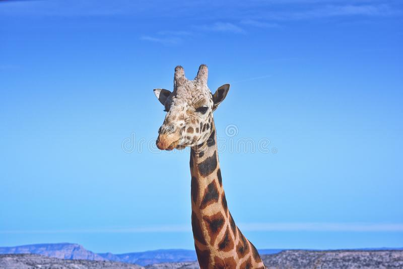 长颈鹿面孔特写镜头画象  库存图片