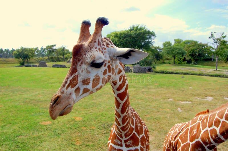 长颈鹿面孔 库存图片