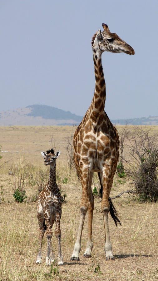 长颈鹿马塞语玛拉 免版税库存照片