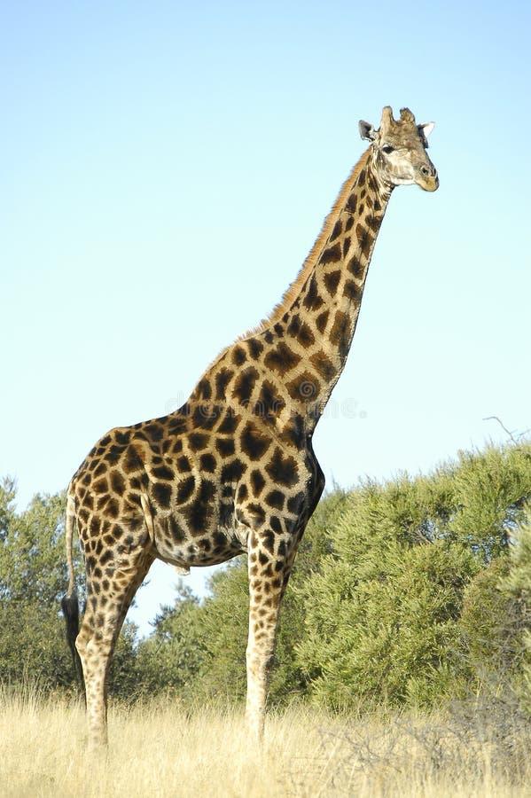 长颈鹿,富兰克林自然保护在布隆方丹 库存照片