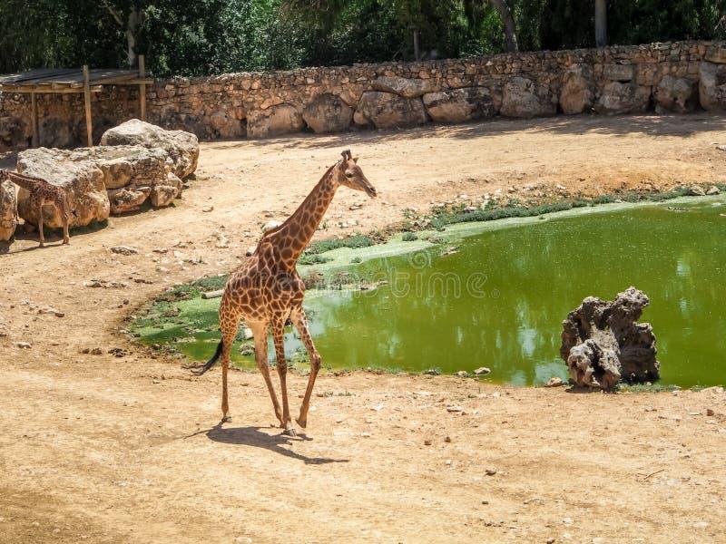 长颈鹿,耶路撒冷圣经的动物园在以色列 免版税库存照片