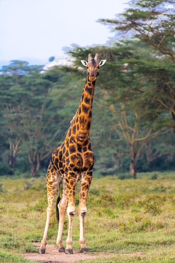 长颈鹿 全长 肯尼亚mara马塞语 库存照片