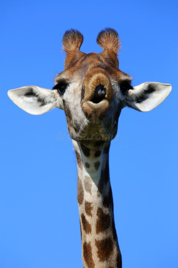 长颈鹿滑稽的面孔 免版税库存图片