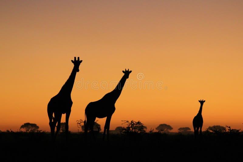 长颈鹿-非洲野生生物背景-日落颜色本质上 库存照片