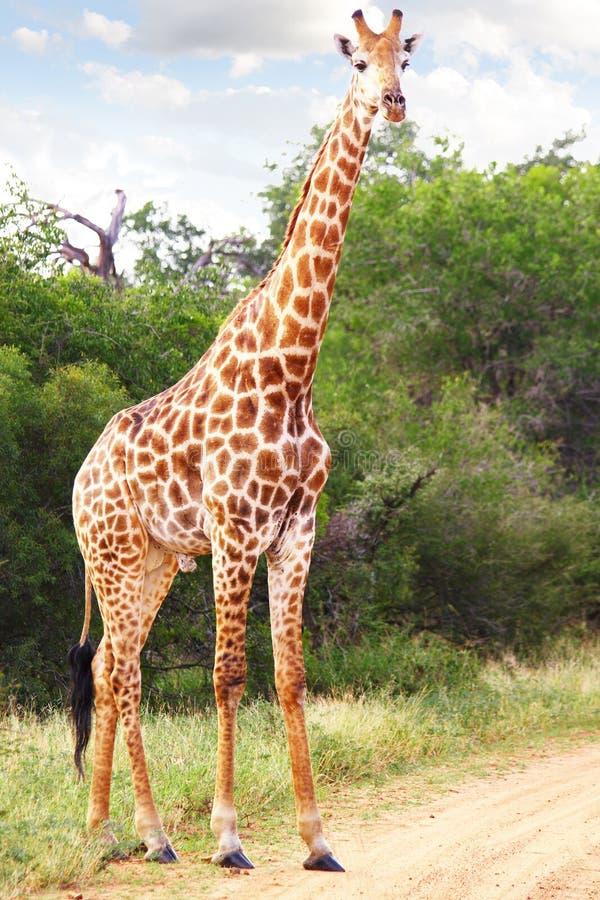 Download 长颈鹿 库存照片. 图片 包括有 环境, 敌意, 查找, 重婚, 栖所, 绿色, 国家, 森林, 破擦声 - 19383840