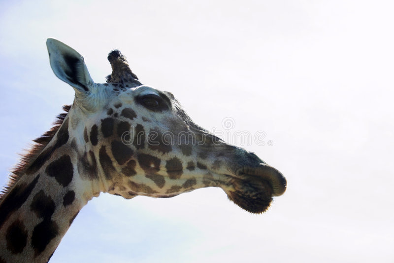 Download 长颈鹿 库存图片. 图片 包括有 本质, 敌意, 长颈鹿, 题头, 脖子, browne, 地点, 动物园 - 194073
