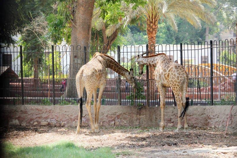 Download 长颈鹿 库存照片. 图片 包括有 开罗, 埃及, 哺乳动物, 脖子, 公园, 长颈鹿, 野生生物, 动物园 - 59101358