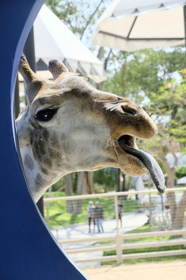 长颈鹿头 库存图片